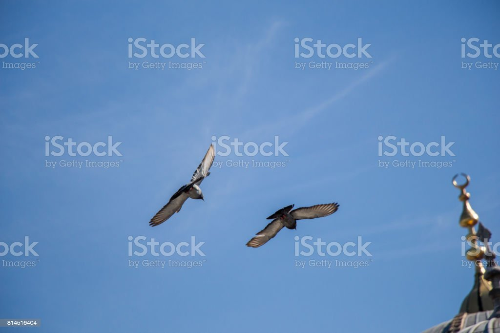 Twin pigeons flying in  air stock photo