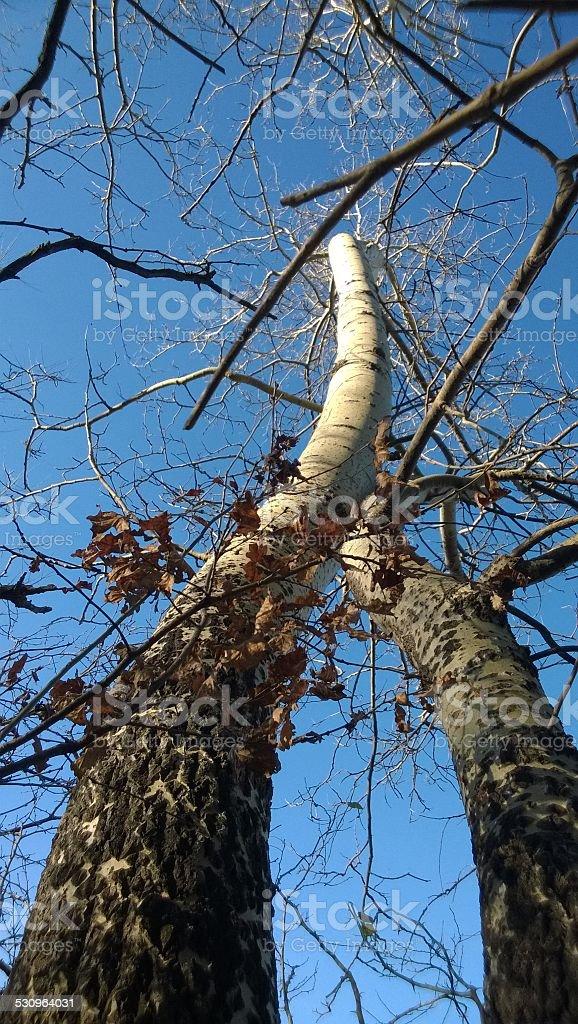 Twin poplar trees royalty-free stock photo