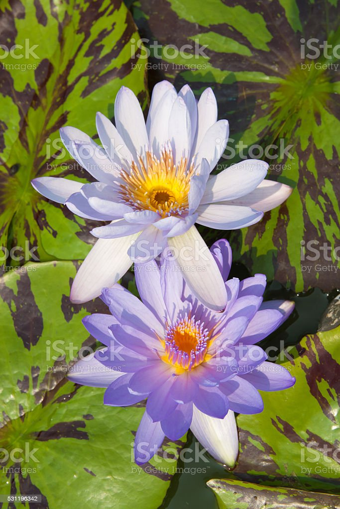 Twin purple lotus in lagoon royalty-free stock photo