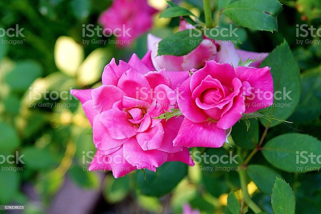 Twin Roses royalty-free stock photo