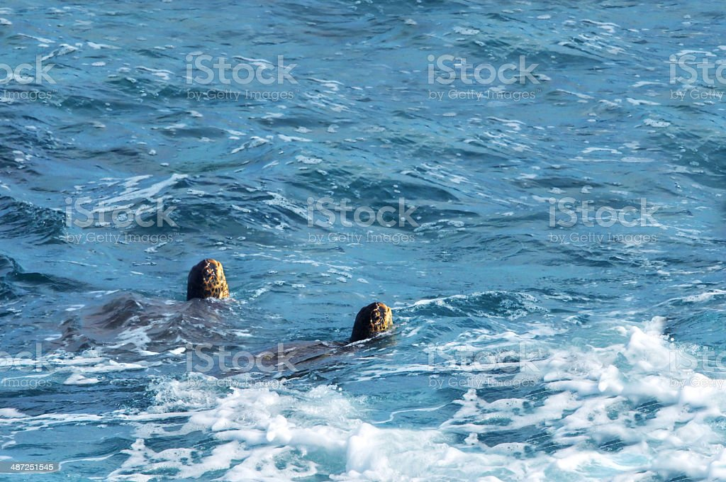 Twin Sea Turtles come up for Air stock photo