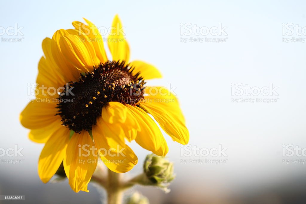 Twin sunflower stock photo