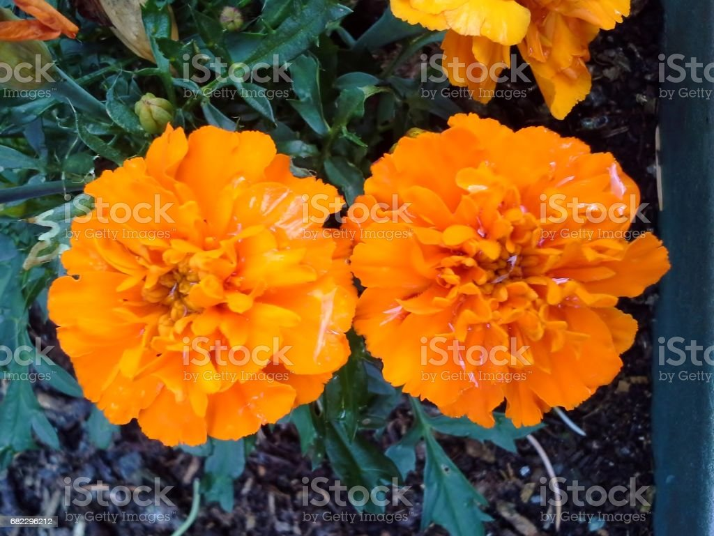 Twin Tagetes Marigolds stock photo