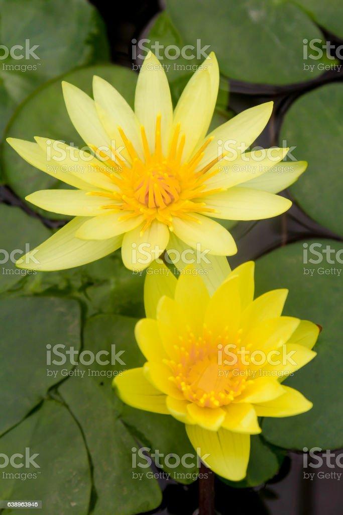 twin Yellow lotus stock photo