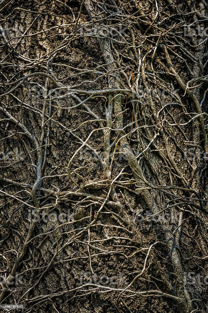Twining leafless creeping branches stock photo