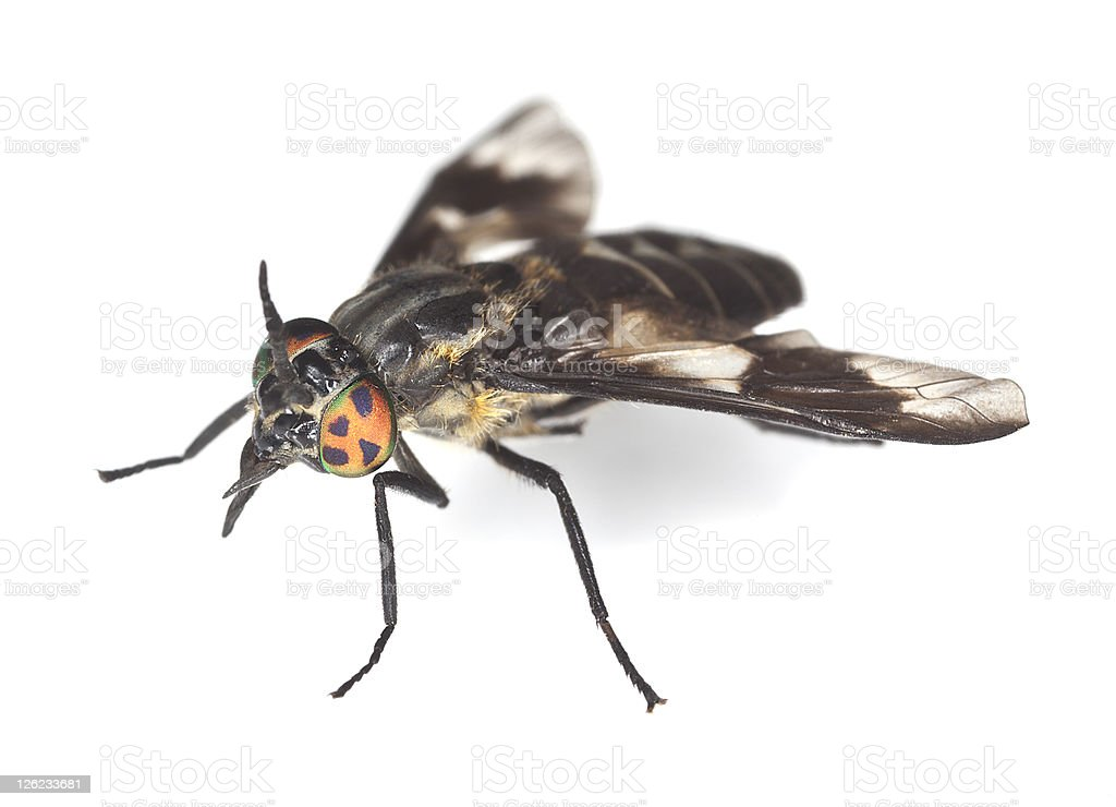 Twin-lobed deerfly (Chrysops relictus) isolated on white background stock photo