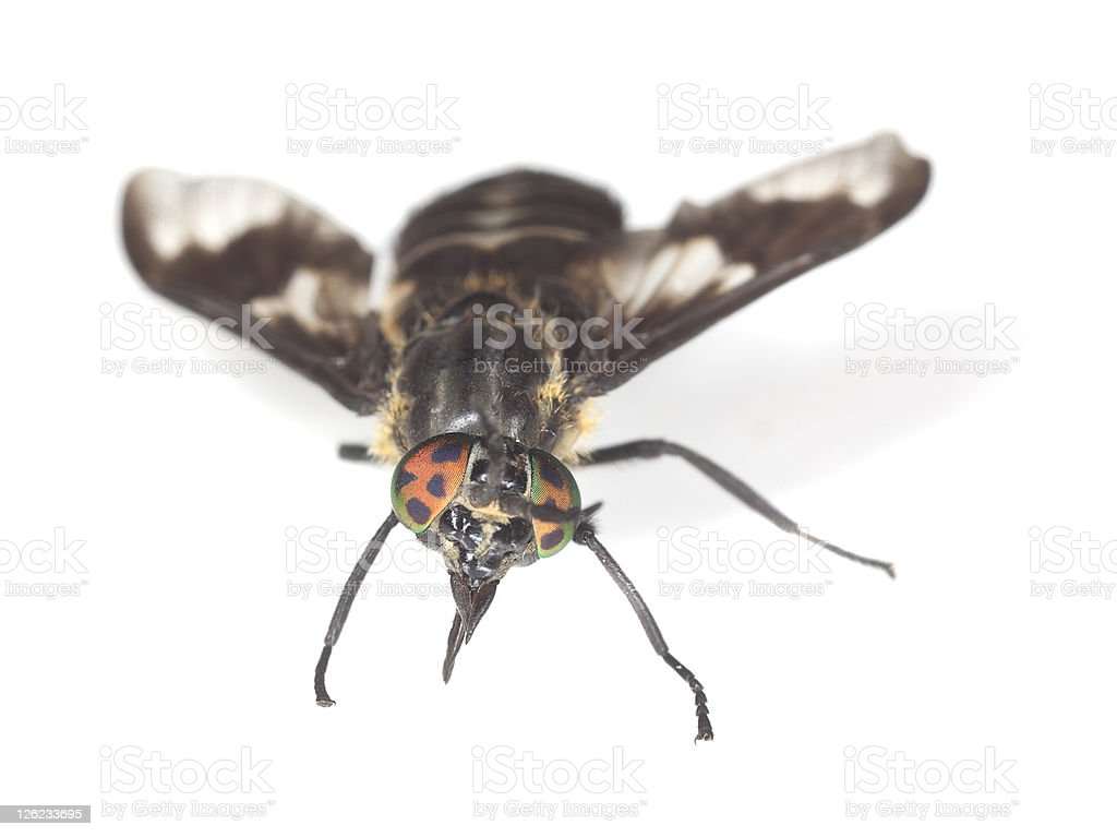 Twin-lobed deerfly (Chrysops relictus) isolated on white background royalty-free stock photo