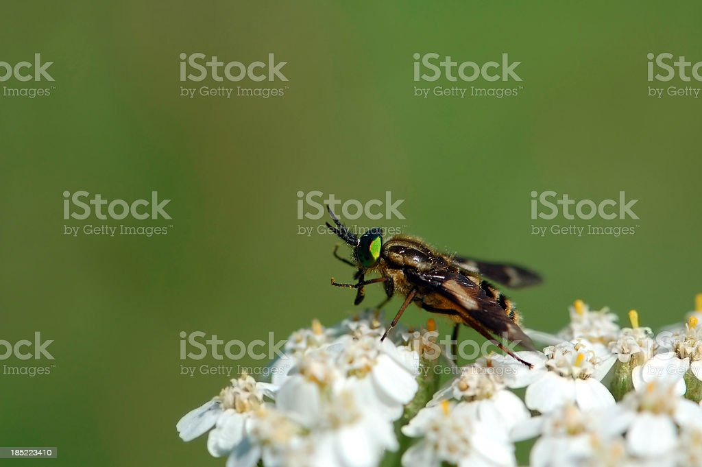 twin-lobed deerfly(Chrysops relictus) royalty-free stock photo