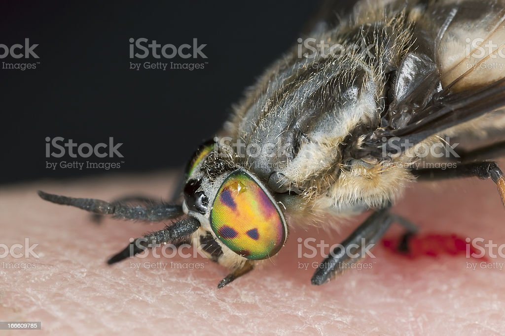 Twin-lobed deerfly (Chrysops relictus) sucking blood from human stock photo