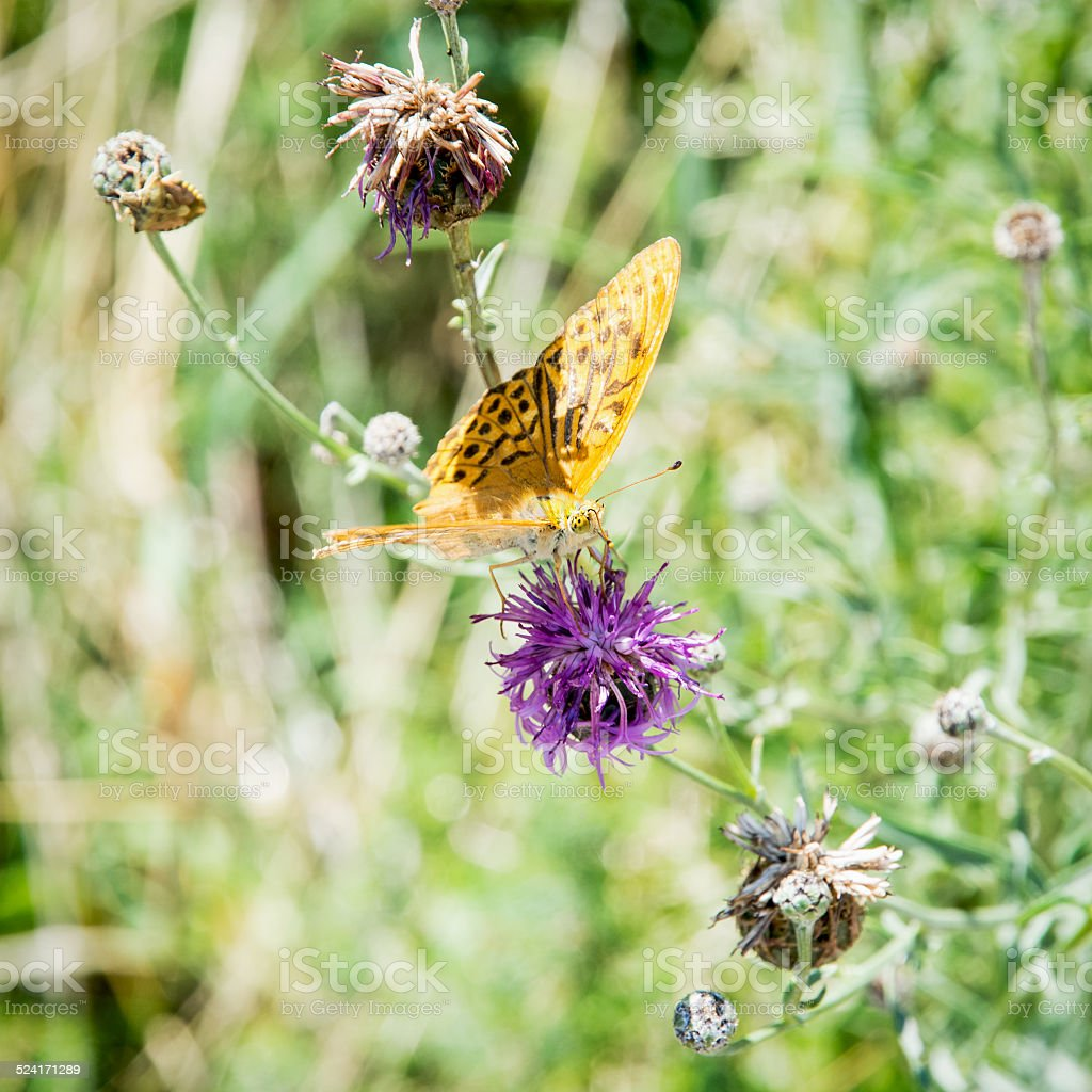 Twin-spot fritillary (Brenthis hecate) stock photo