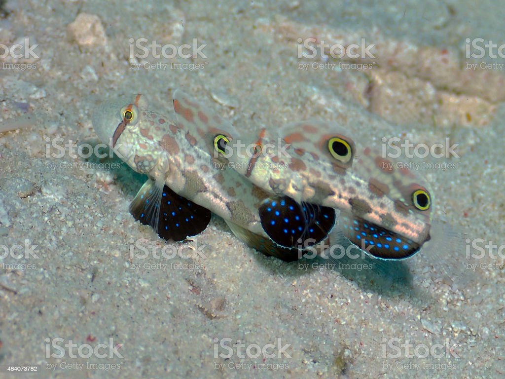 Twinspot Goby swim as a pair stock photo