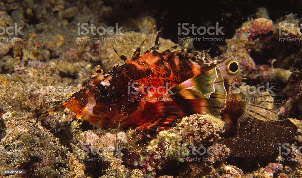 Twinspot Lionfish stock photo