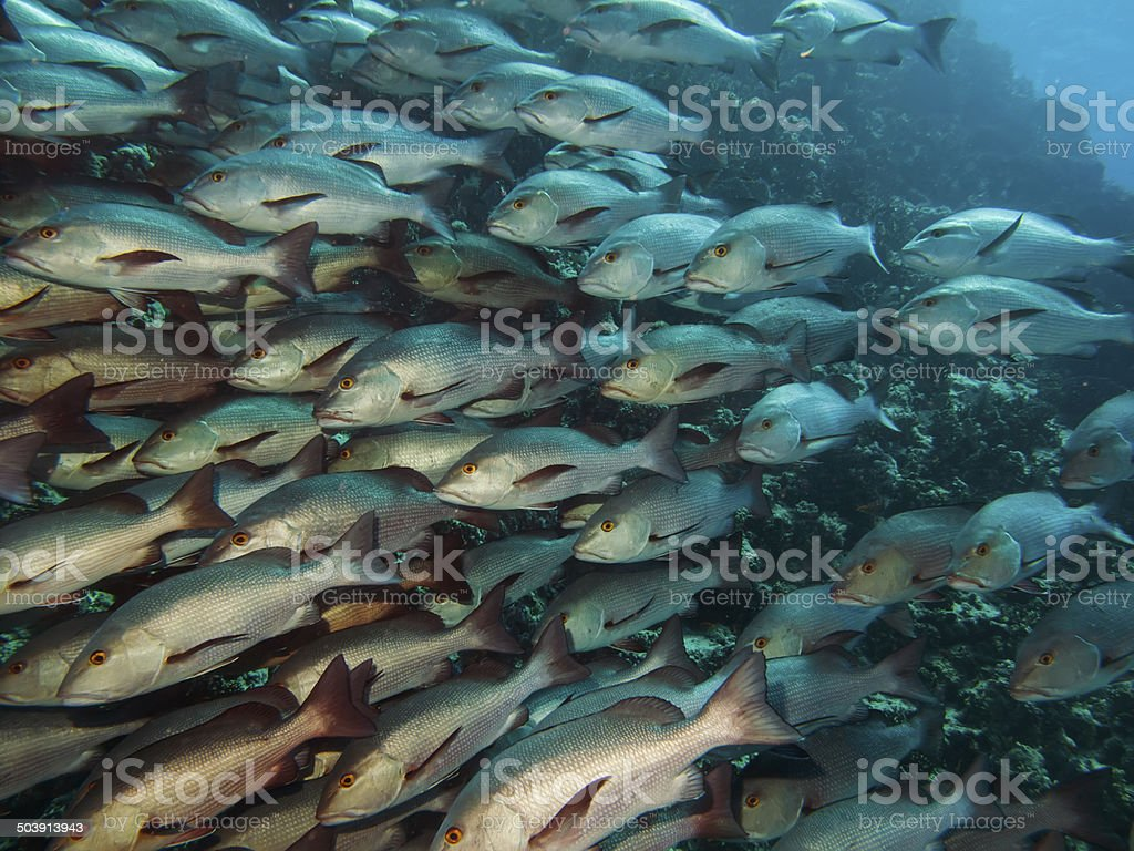 Twinspot snapper, stock photo