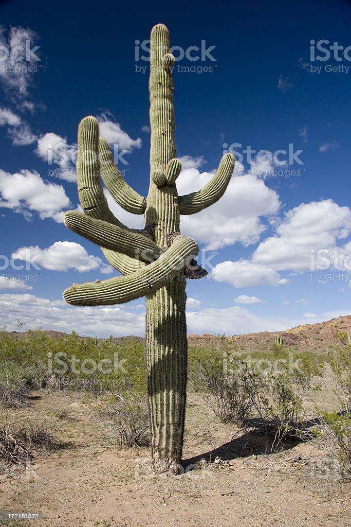 Twisted Arizona Saguaro Cactus royalty-free stock photo
