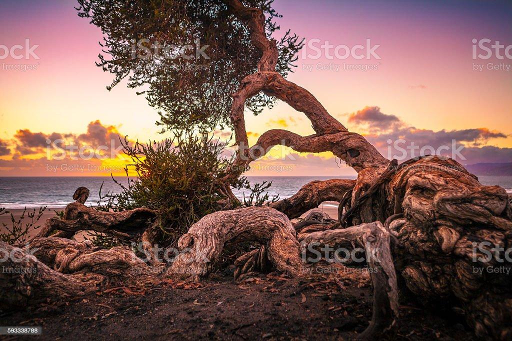 Twisted Australian Tea Tree on Santa Monica Bluff, At Sunset stock photo