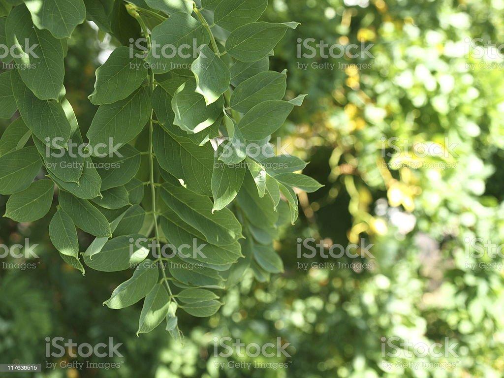 Twisted black locust leaf greenery stock photo