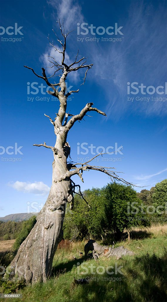 Twisted Dead Tree royalty-free stock photo