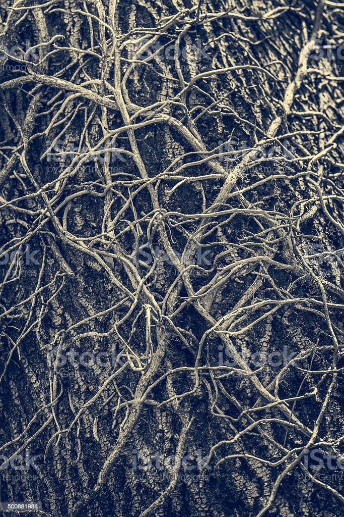 Twisted leafless vines creeper stock photo