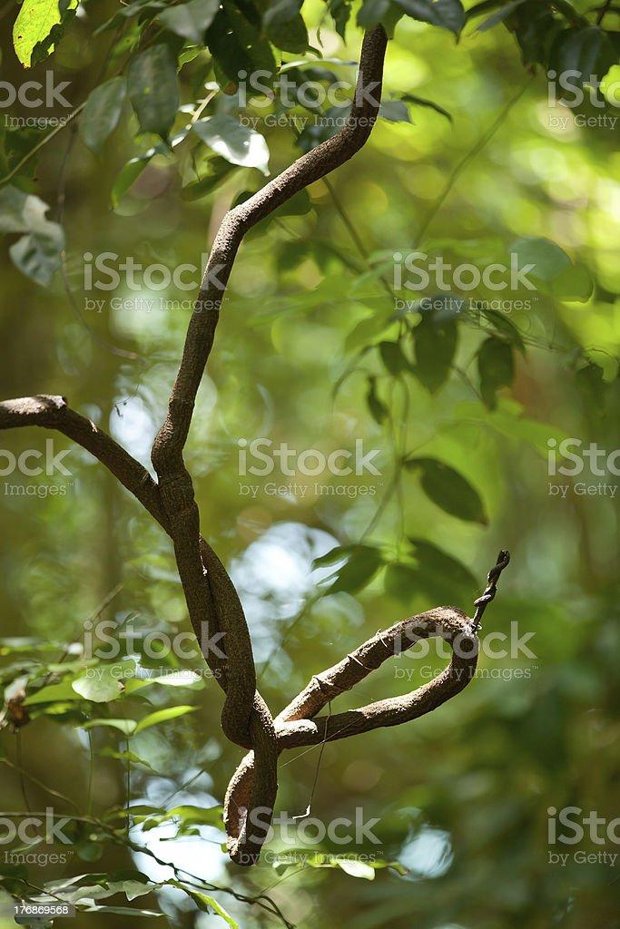 twisted liana royalty-free stock photo