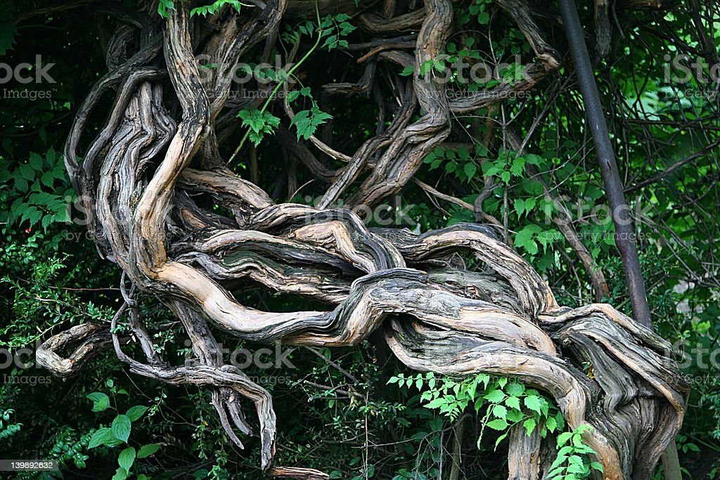 Twisted tree royalty-free stock photo