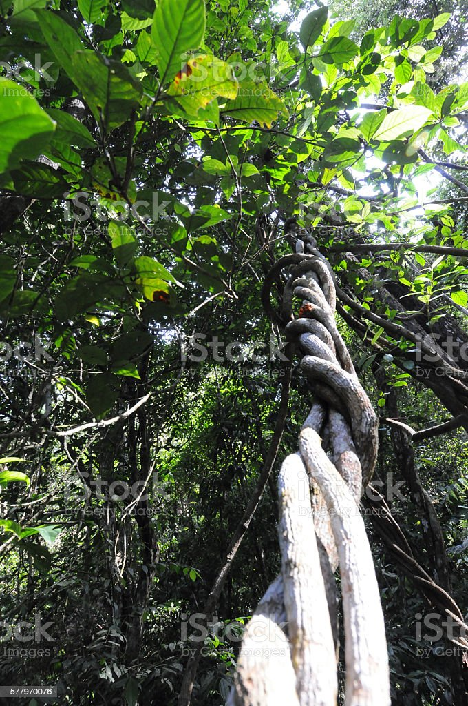 Twisted Vine in a tropical Rainforest stock photo