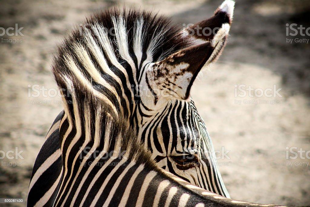 Twisted Zebra stock photo