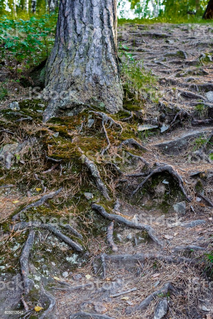 Twisting roots of a tree covered with green moss on a slope stock photo
