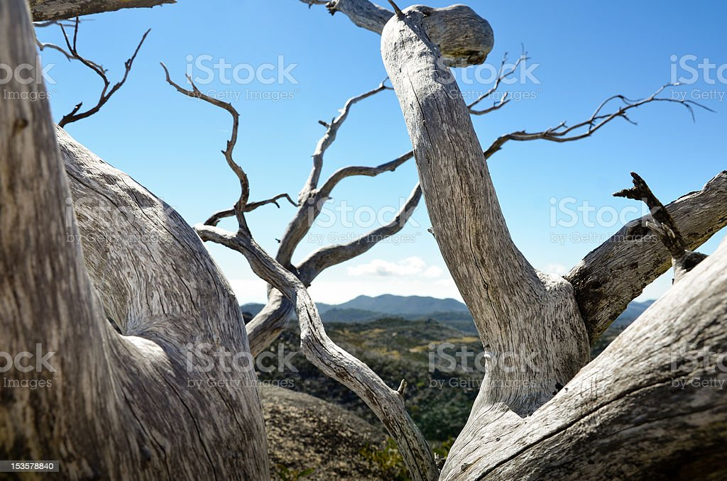 Twisting snow gum trees stock photo