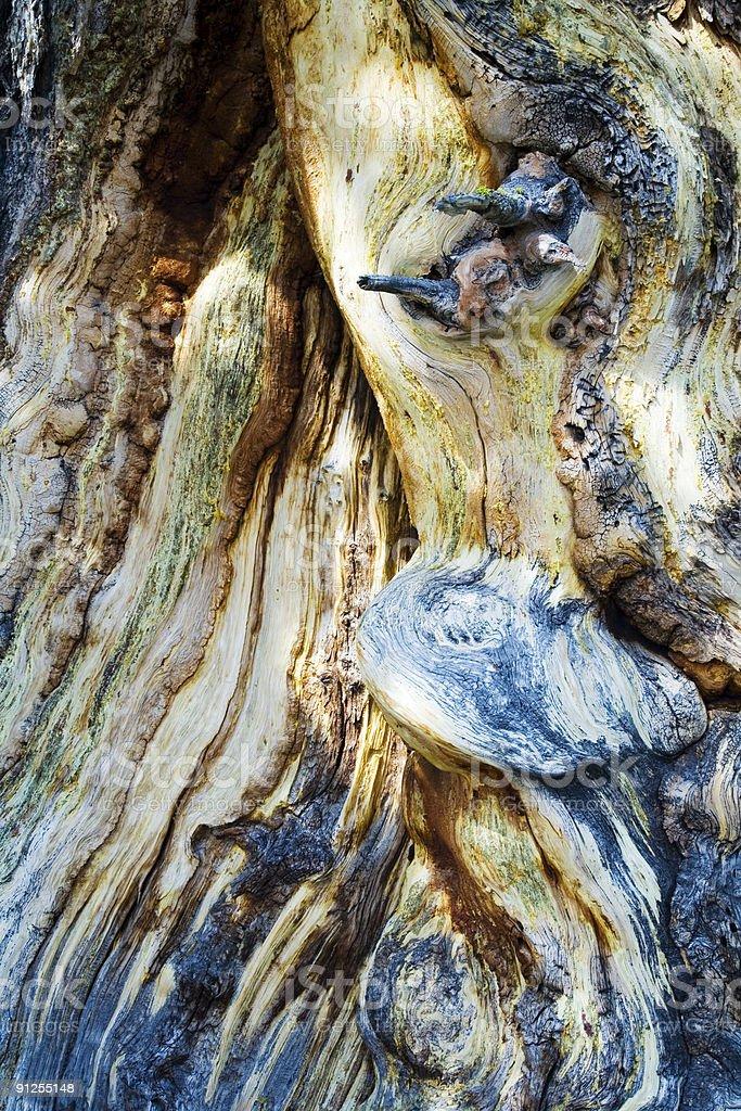 Twisty Knotty Pine royalty-free stock photo