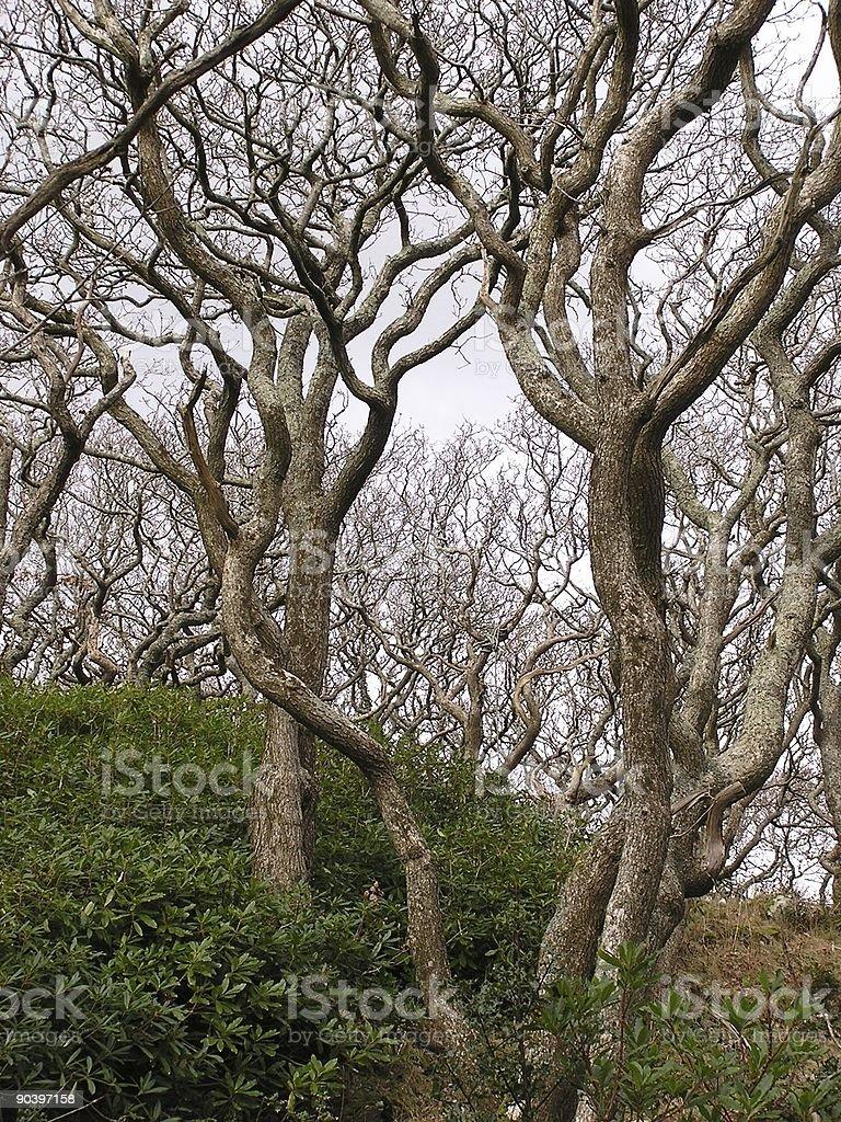 Twisty Trees royalty-free stock photo