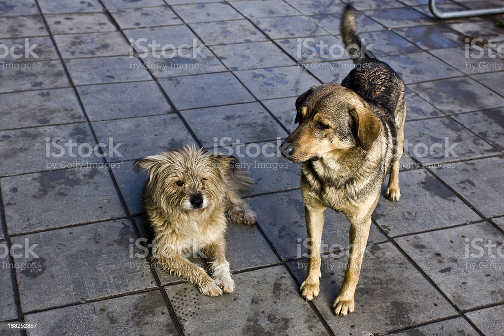 Two Abandoned Dogs royalty-free stock photo
