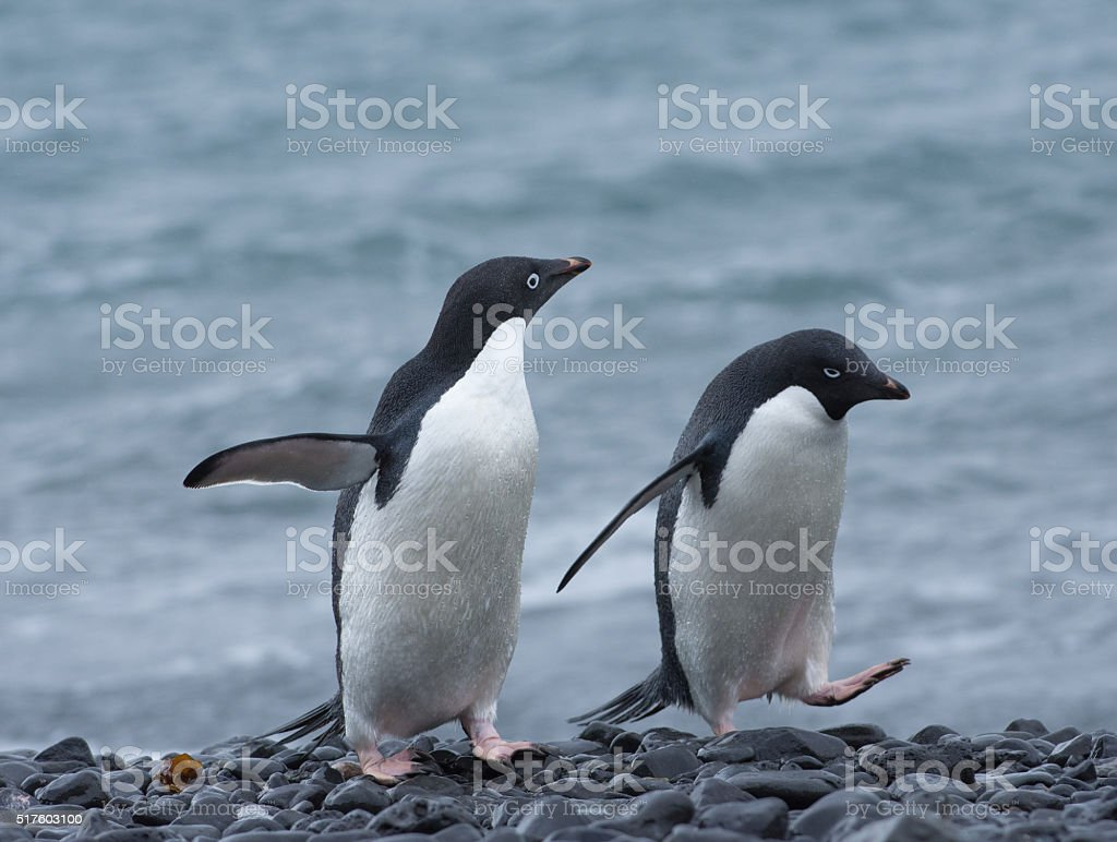 Two Adelie penguins walking on a stony beach in Antartica stock photo