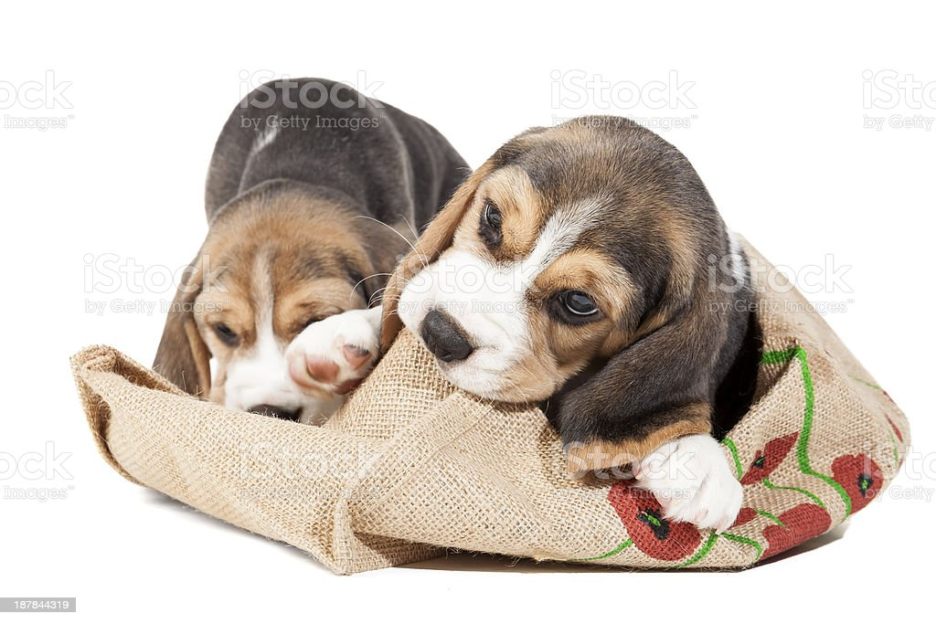 Two adorable beagle puppy royalty-free stock photo