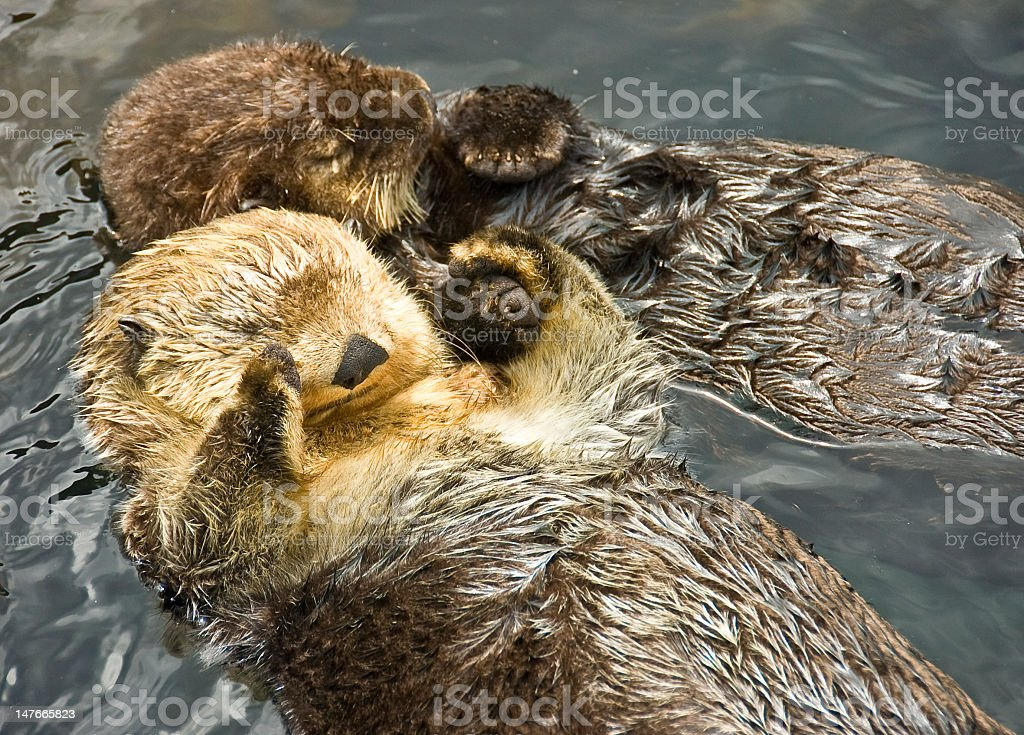 Two adorable otter friends on their backs in the sea stock photo