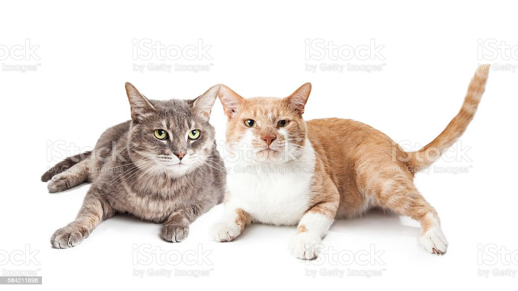 Two Adult Cats Together On White stock photo