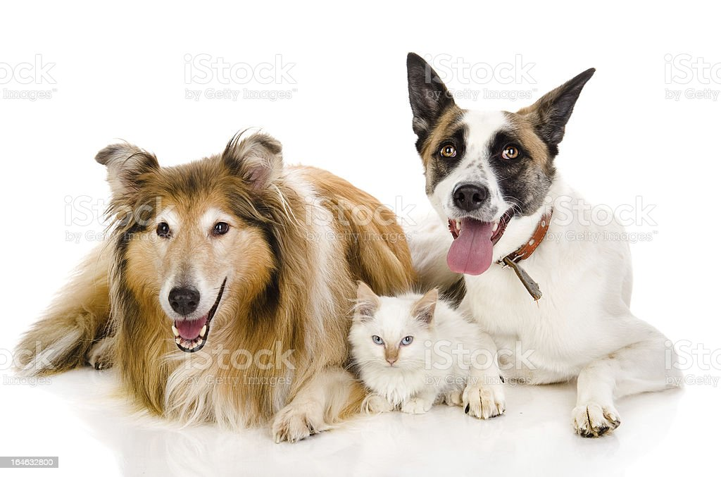 two adult dogs and tiny kitten royalty-free stock photo