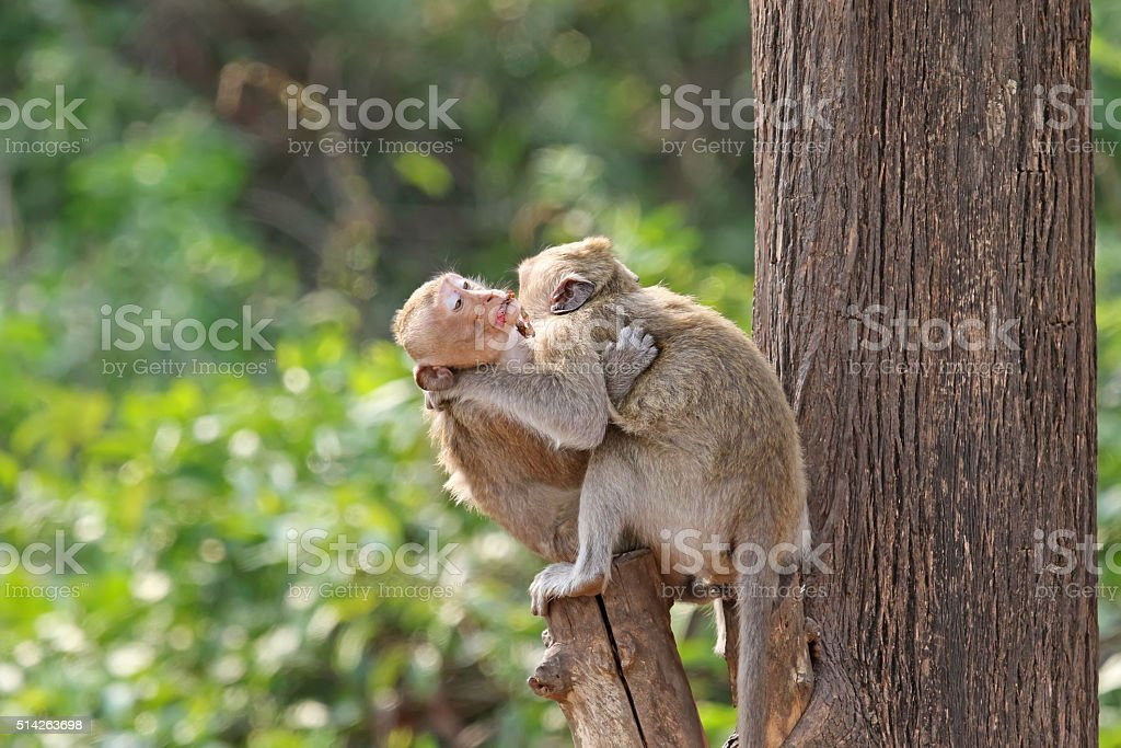 Two affectionate monkeys sitting on tree, hugging each other stock photo