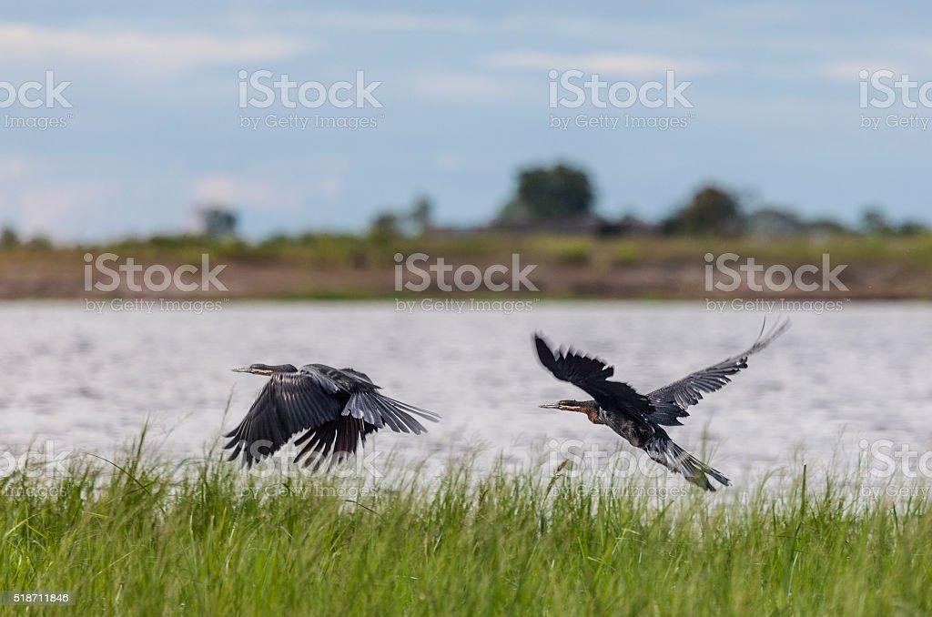 Two African Darters, rising from Chobe River, Botswana stock photo