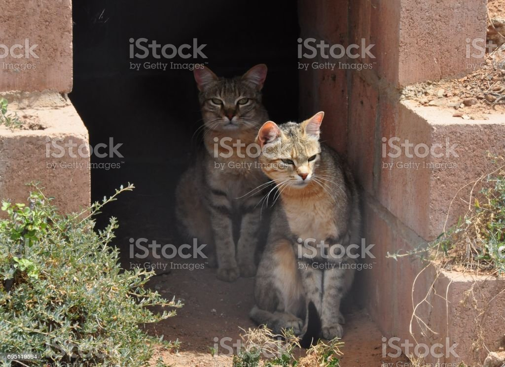 Two African wild cats in the shade stock photo