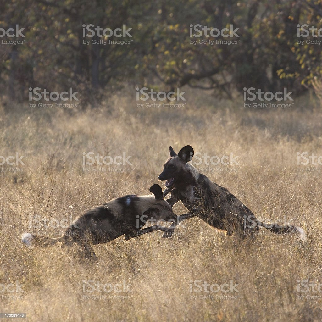 Two African Wild Dogs (Lycaon pictus) play-fighting stock photo