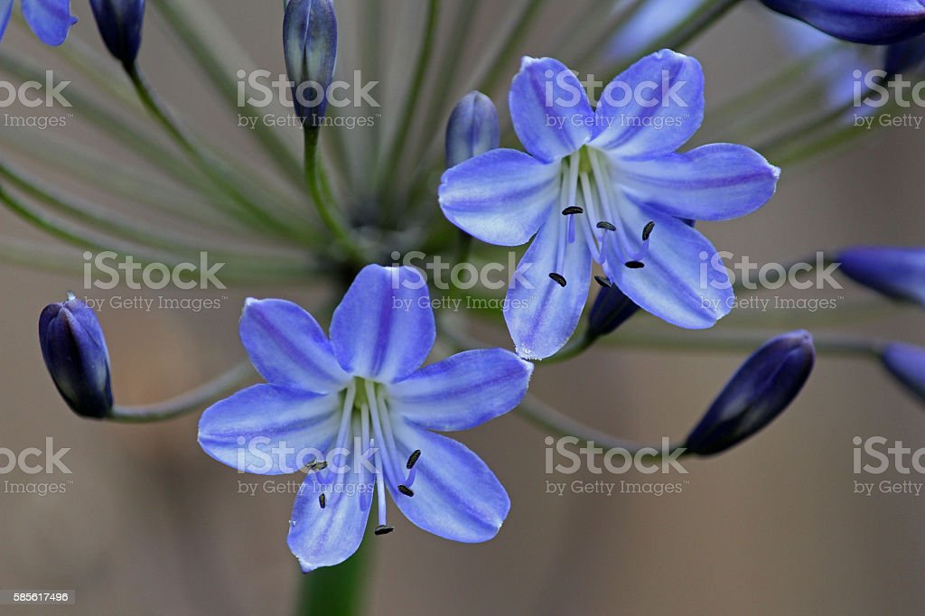 Two Agapanthus Blooms stock photo