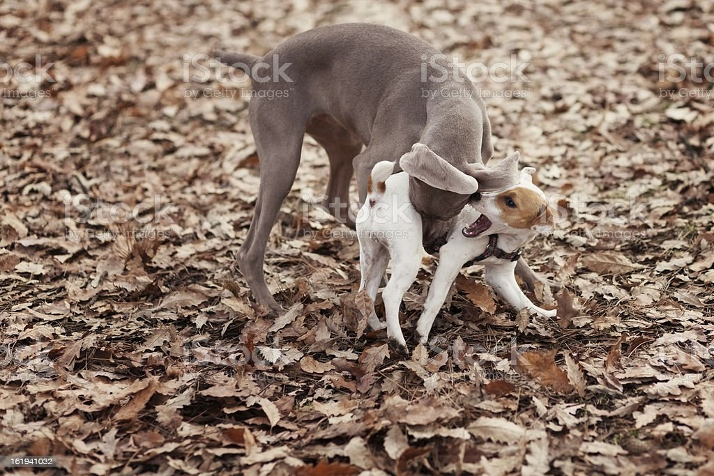 Two agressive dogs fight royalty-free stock photo