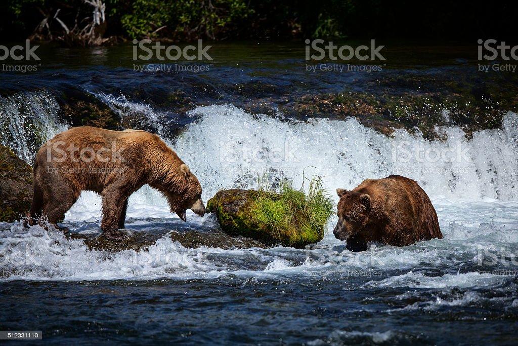 Two Alaskan Brown Bears at Brooks Falls, Katmai National Park royalty-free stock photo