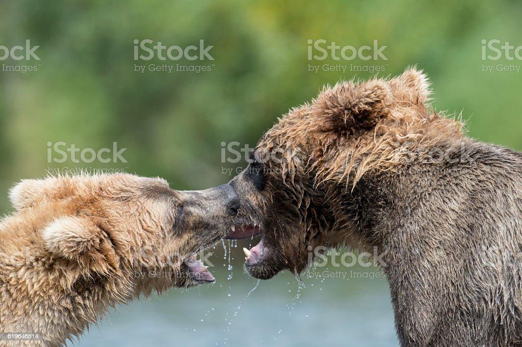 Two Alaskan brown bears fighting stock photo