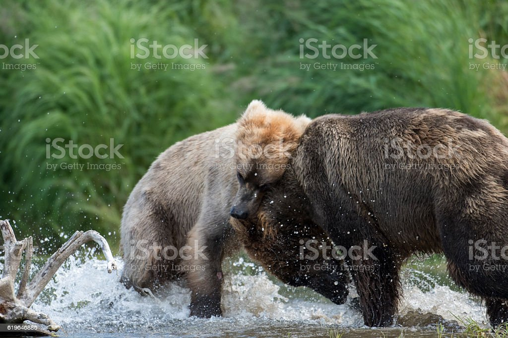 Two Alaskan brown bears fighting stock photo