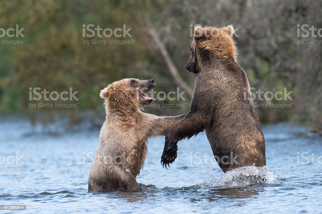 Two Alaskan brown bears playing stock photo