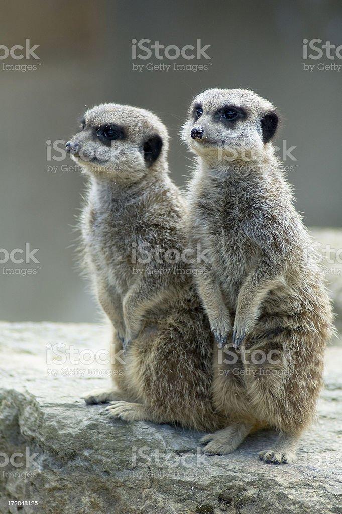 Two Alert Meerkats royalty-free stock photo