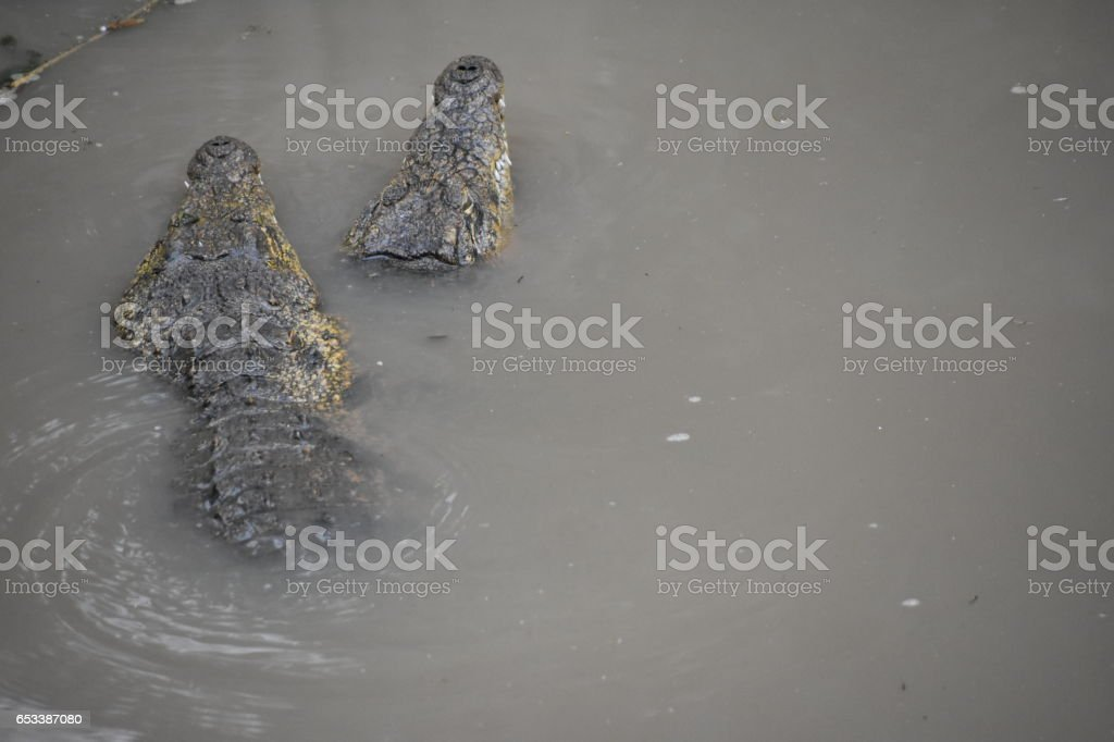 Two alligators in water stock photo