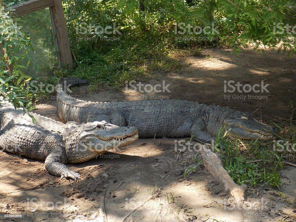Two Alligators stock photo