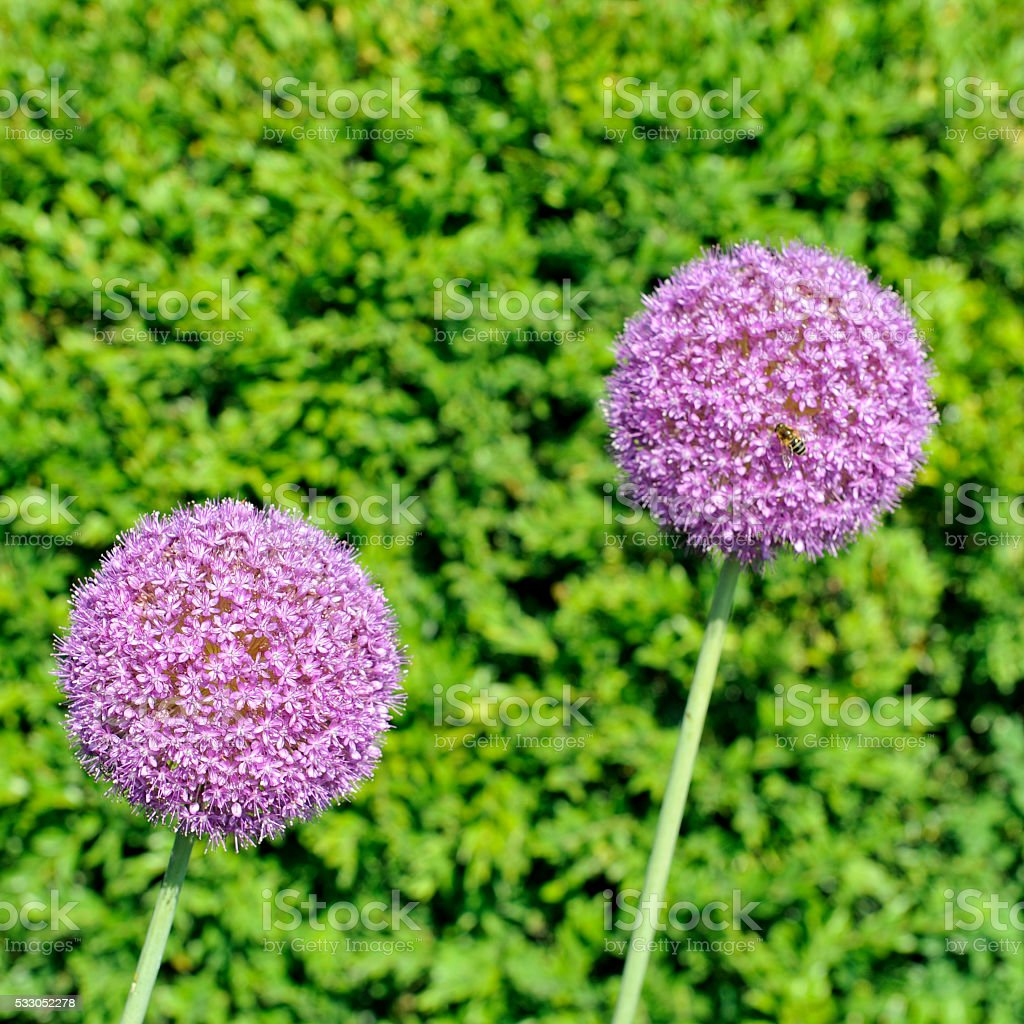 Two allium flowers against a buxus plant stock photo